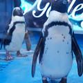 Photos: ケープペンギン@ペンギンのいるBAR