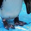 Photos: ケープペンギンの足@ペンギンのいるBAR