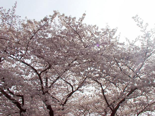 谷中霊園 桜 #2