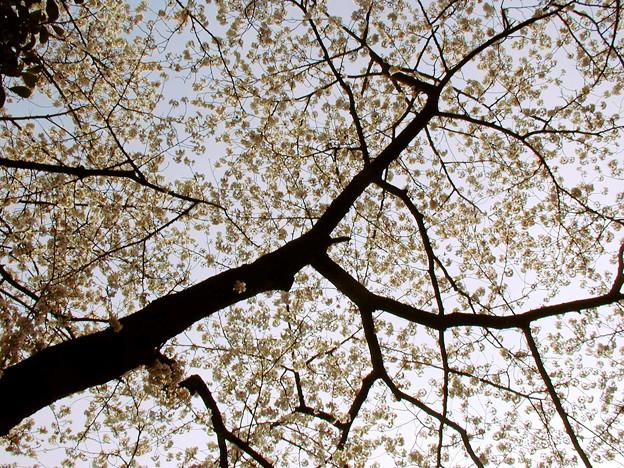 谷中霊園 桜 #4