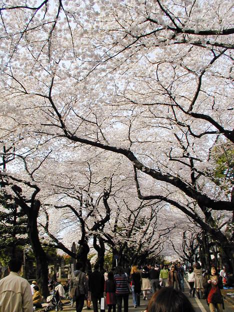 谷中霊園 桜#6