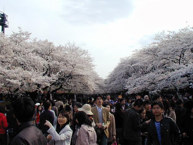 上野公園 桜#1