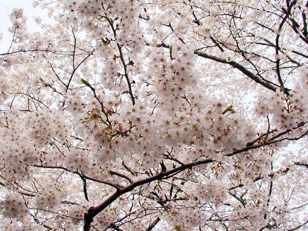 上野公園 桜#5