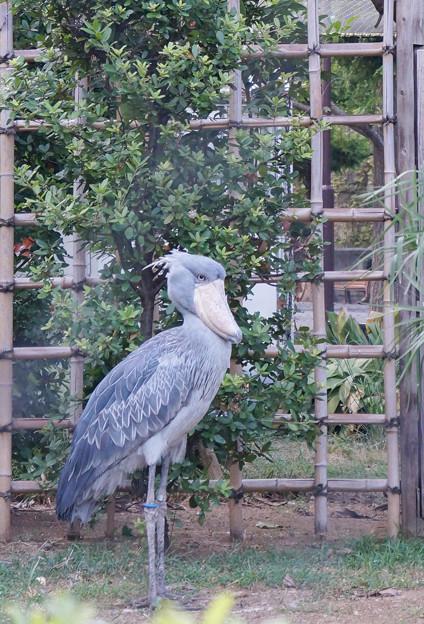 ハシビロコウ@上野動物園  #2
