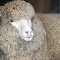 Photos: コリデール羊@熊本市動植物園
