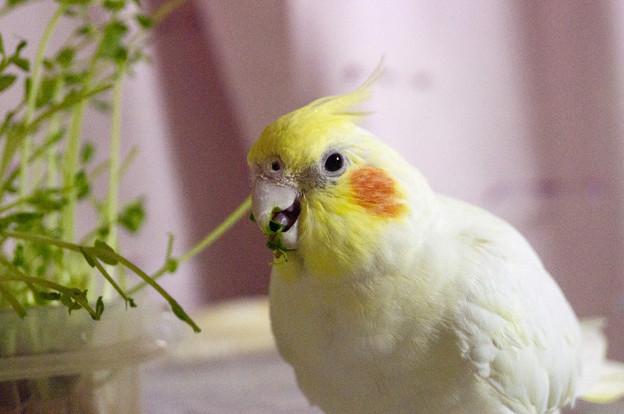 豆苗を食べるあくびちゃん #3