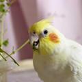 Photos: 豆苗を食べるあくびちゃん #3