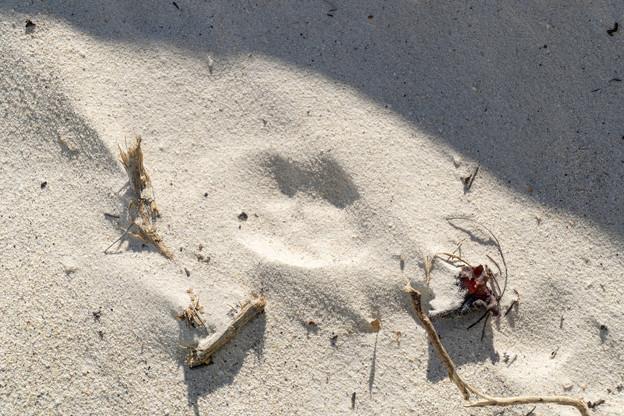 野生のケープペンギンの足跡1