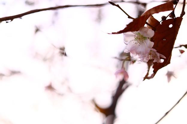 紅葉と寒桜