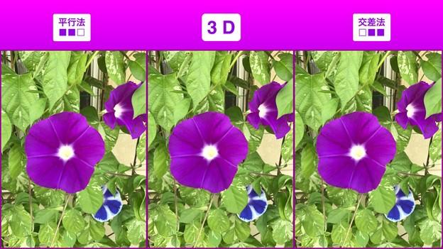 [3D]朝顔の対比
