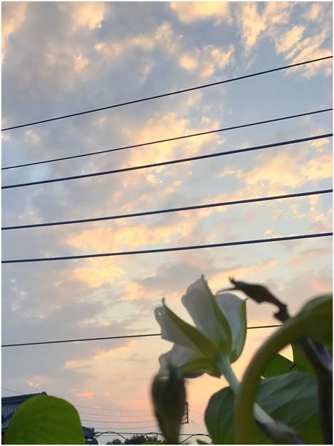 夕焼けを眺める夕顔