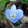 花> ルリ クワガタ:花びらに尖り!←2