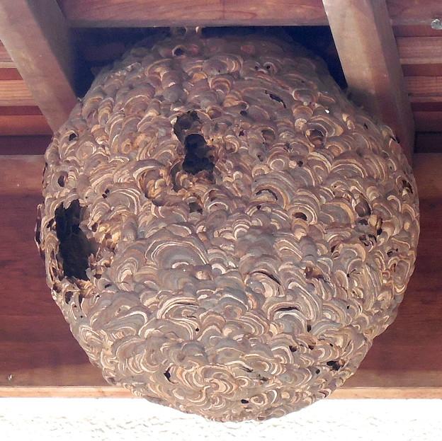 Photos: 蜂の巣:1月下旬に撮りました←6