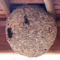 蜂の巣:1月下旬に撮りました←6