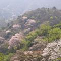 写真: 満開の山桜