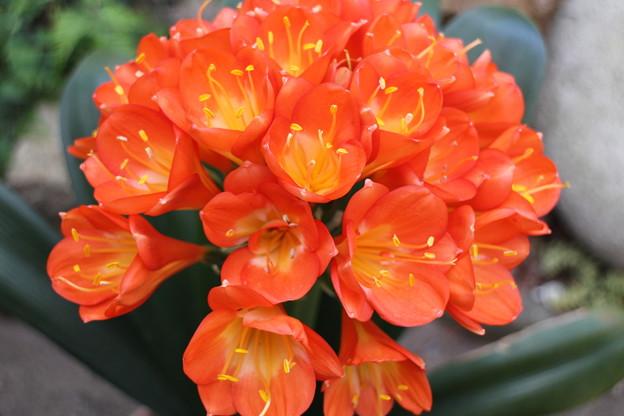クンシランが咲きました2