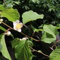 Photos: マタタビの花