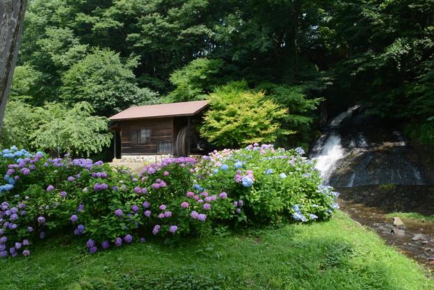 お滝さんと紫陽花