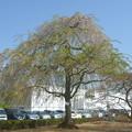 三春滝桜の子孫木