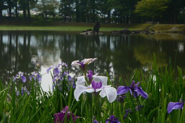 あやめと毛越寺の庭園