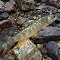 写真: 岩魚かわゆい