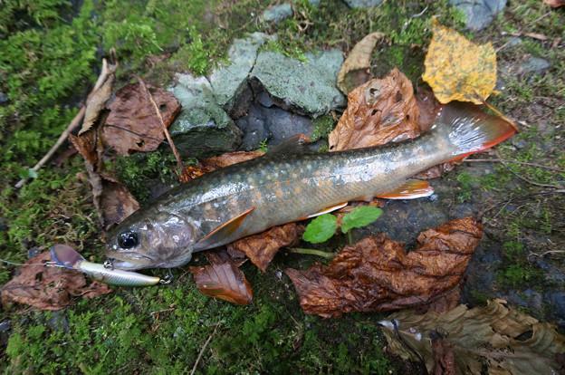 ひょろ長い岩魚