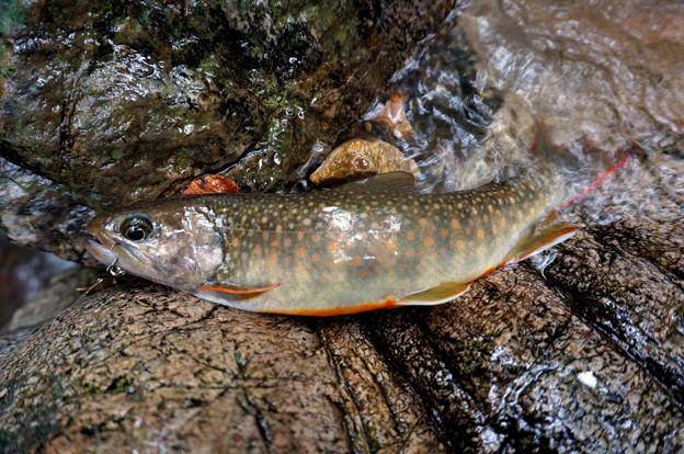 今日イチ31cm岩魚