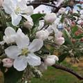 Photos: リンゴの花1