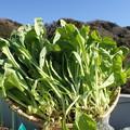 Photos: 収穫野菜2