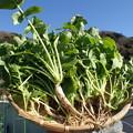 Photos: 収穫野菜3