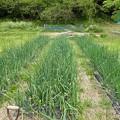 Photos: 葉山農園8(縮小)