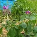 Photos: ジャガイモの花(縮小)