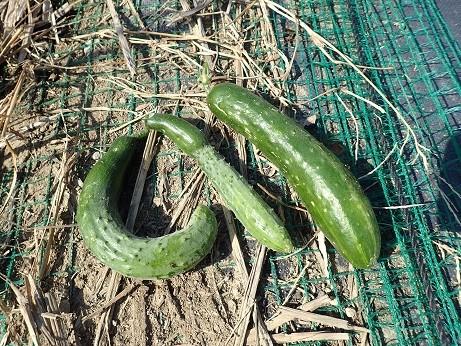 収穫野菜2(縮小)