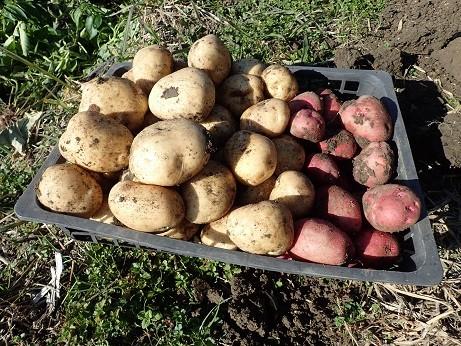 ジャガイモ収穫(縮小)