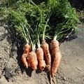 Photos: 小さな菜園収穫4(縮小)