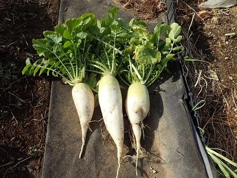 Photos: 収穫野菜1(縮小)