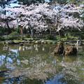 白山神社の桜
