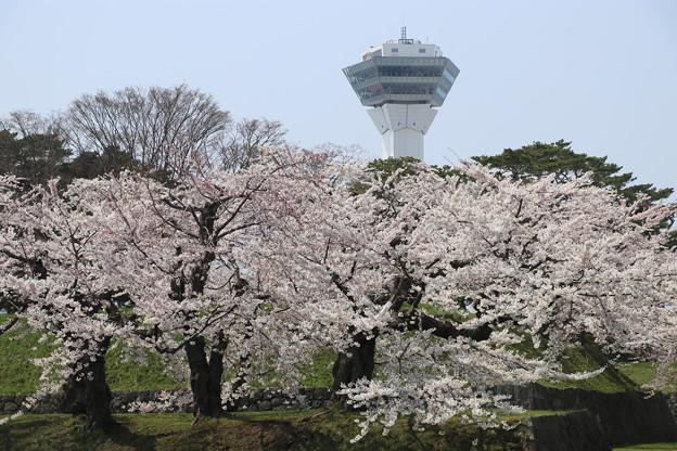 五稜郭公園の桜