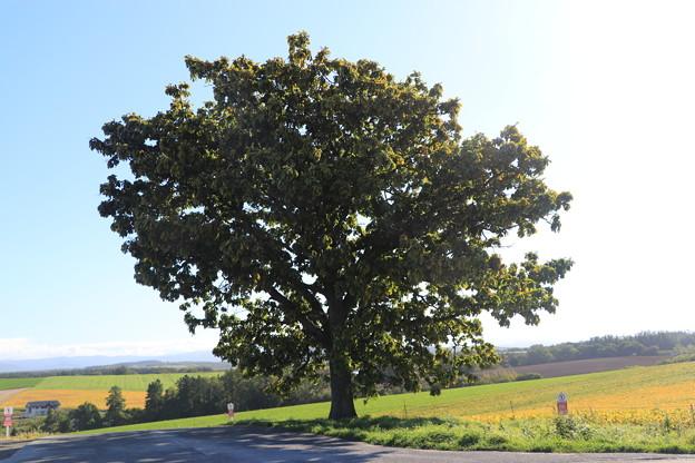 Photos: セブンスターの木