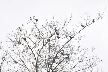 イスカ 17羽以上の群れ