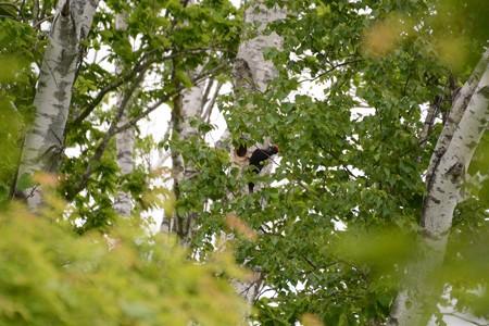 クマゲラ営巣木