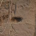 Photos: ショウドウツバメ 新しい巣2