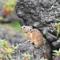 Photos: ナキウサギ 食事食べる