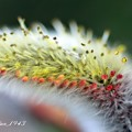 ネコヤナギ(猫柳)の花