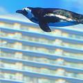 写真: ペンギン空を飛ぶ・・?