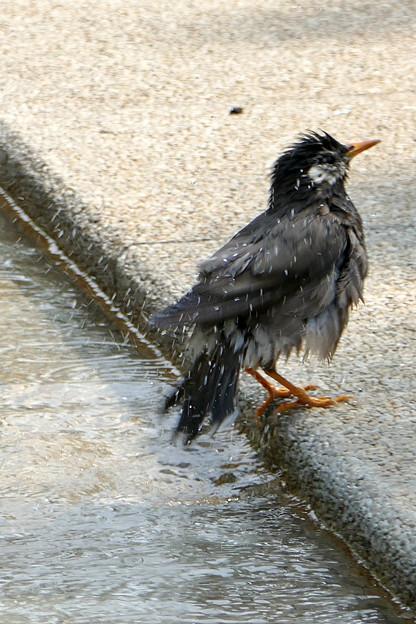 写真: 水浴び
