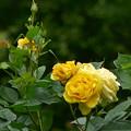 Photos: 戸山公園の黄バラ