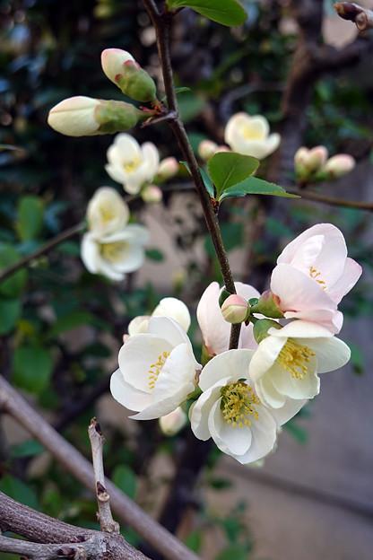 庭のボケの花