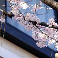 写真: 小彼岸桜