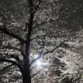 Photos: 神田川の桜